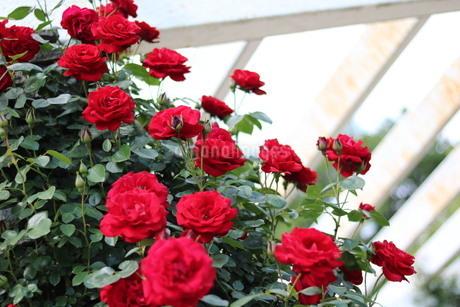 赤いバラの写真素材 [FYI03123681]