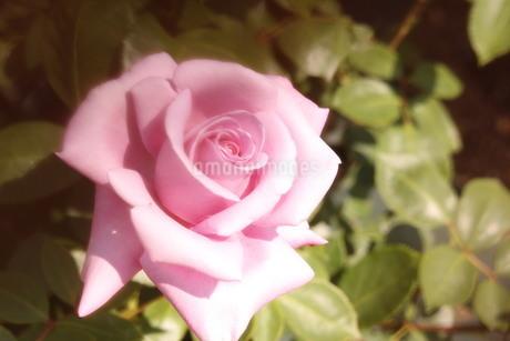 ピンクの薔薇の写真素材 [FYI03123690]