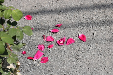 バラの花びらの写真素材 [FYI03123694]