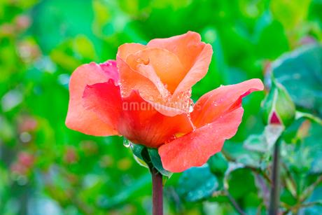 バラの花 クイーンエリザベスの写真素材 [FYI03123842]