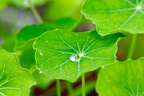 ナスタチウムの葉に付いた滴の写真素材 [FYI03123843]