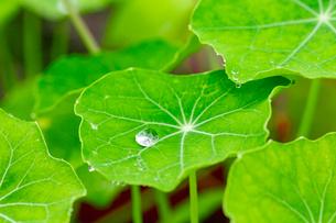 ナスタチウムの葉に付いた滴の写真素材 [FYI03123844]