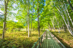 新緑の小田代ヶ原 木道とシラカバやミズナラの森 ラムサール条約登録湿地 奥日光 日光国立公園の写真素材 [FYI03123851]