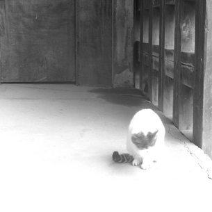 自分を舐める毛づくろい中の猫 白黒の写真素材 [FYI03123904]