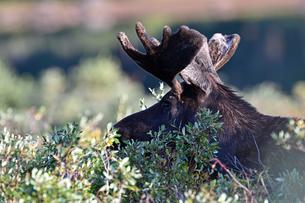 朝日を浴びながら低木の葉を食む若いオスヘラジカの写真素材 [FYI03124066]
