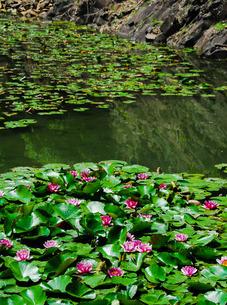 栗林公園、石壁(赤壁)の睡蓮 の写真素材 [FYI03124114]