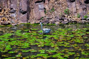 栗林公園、石壁(赤壁)の睡蓮とアオサギの写真素材 [FYI03124115]