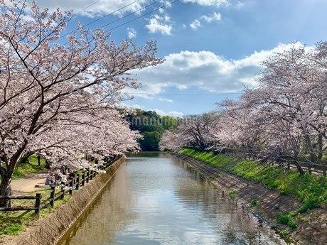 桜並木の写真素材 [FYI03124308]