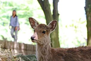 奈良公園の鹿の写真素材 [FYI03124331]