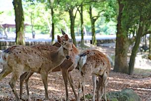 奈良公園・鹿の群れの写真素材 [FYI03124333]