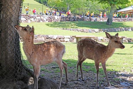 奈良・若草山ゲート前の子鹿の写真素材 [FYI03124359]