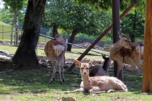 木陰で休む鹿の写真素材 [FYI03124362]
