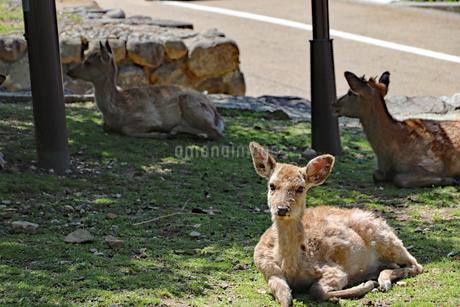 芝生の上で休む鹿たちの写真素材 [FYI03124363]