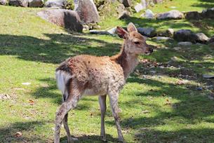 奈良公園の子鹿の写真素材 [FYI03124365]