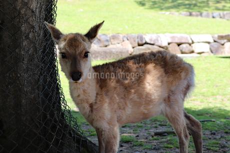 奈良公園の子鹿の写真素材 [FYI03124367]
