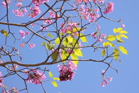 ブラジル国花イペーと新緑の葉の写真素材 [FYI03124371]