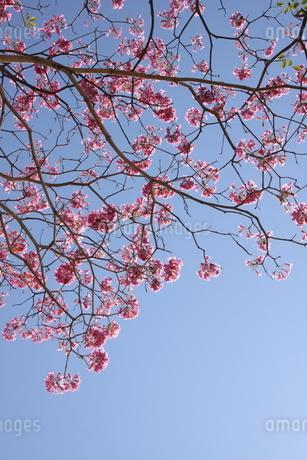 ブラジル国花のイペーの写真素材 [FYI03124377]