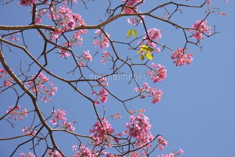 ブラジル国花のイペーの写真素材 [FYI03124414]