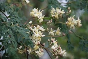 モリンガの花の写真素材 [FYI03124438]