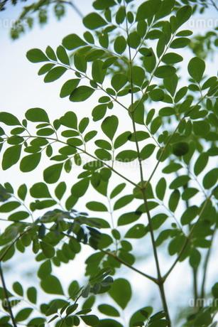 ブラジルで栽培されているモリンガの写真素材 [FYI03124441]