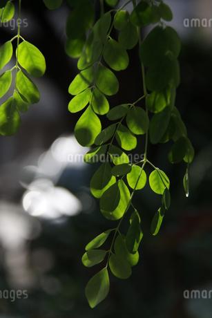 ブラジルで栽培されているモリンガの写真素材 [FYI03124448]