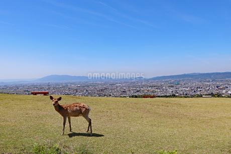 若草山の鹿の写真素材 [FYI03124456]