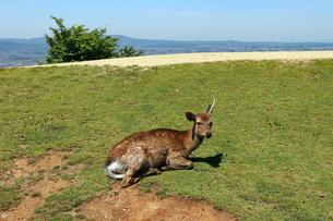 芝生でくつろぐ一本角のオス鹿の写真素材 [FYI03124470]