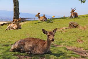 若草山は鹿だらけの写真素材 [FYI03124472]