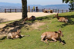 若草山の鹿の写真素材 [FYI03124473]