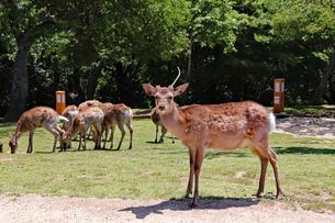 一本角のオス鹿の写真素材 [FYI03124478]