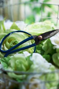 緑や白のバラの中に置かれた 青い花はさみの写真素材 [FYI03124647]