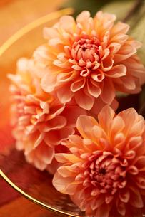 ガラスの器に活けられたピンクのダリアの写真素材 [FYI03124669]