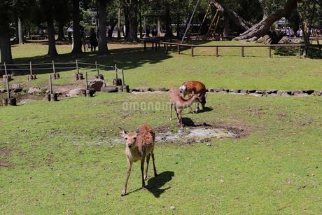 人なつっこい子鹿の写真素材 [FYI03124727]