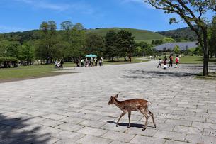 奈良公園の鹿と若草山の写真素材 [FYI03124728]