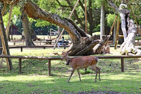 首輪のついた鹿の写真素材 [FYI03124748]