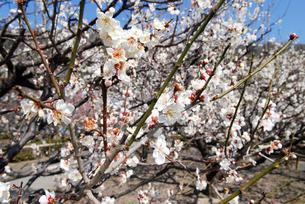 梅の 花の写真素材 [FYI03124827]