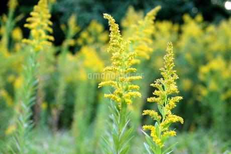 黄色い花畑の写真素材 [FYI03124957]