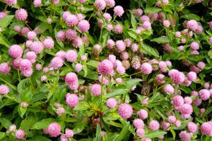 ピンクの花々の写真素材 [FYI03125411]