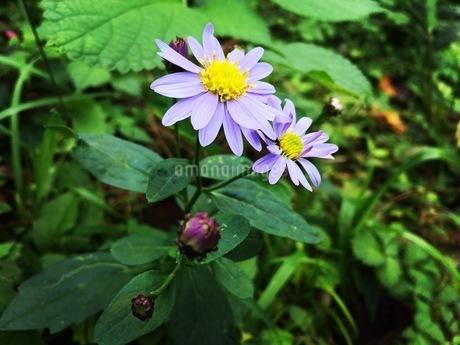 道端に咲いている紫色の花の写真素材 [FYI03125726]