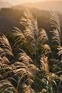 朝日で輝くススキの写真素材 [FYI03125742]