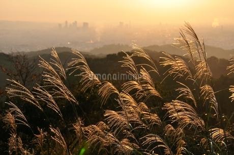 朝日で輝くススキの写真素材 [FYI03125746]