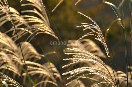 朝日で輝くススキの写真素材 [FYI03125749]
