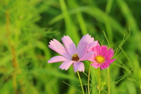 野原に咲くピンク色のコスモスの花の写真素材 [FYI03125841]