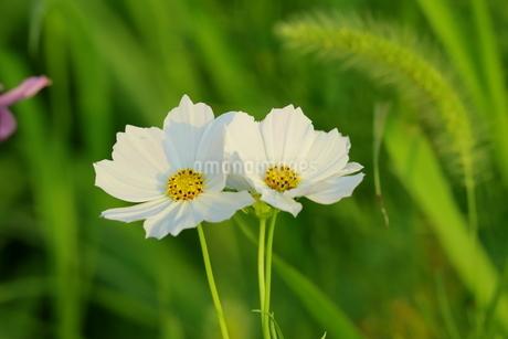 野原に咲く白いコスモスの花の写真素材 [FYI03125842]