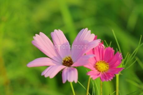 野原に咲くピンク色の可愛いコスモスの花の写真素材 [FYI03125843]