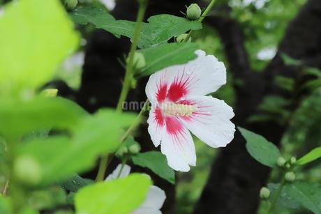 雨に濡れた白いアオイの花の写真素材 [FYI03125844]