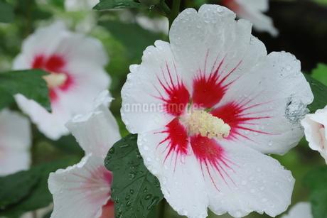 雨に濡れた白いアオイの花の写真素材 [FYI03125845]