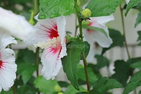 雨に濡れた白いアオイの花の写真素材 [FYI03125846]