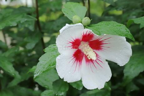 雨に濡れた白いアオイの花の写真素材 [FYI03125848]