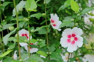 日本の夏の野草 ハイビスカスに似ているアオイの花の写真素材 [FYI03125850]